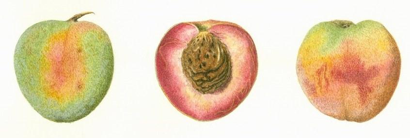разрез персика