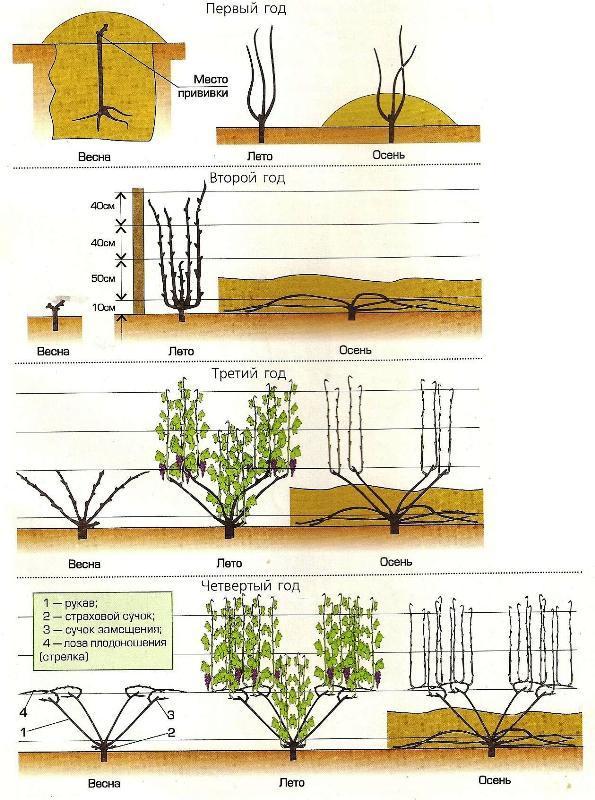 картинка выращивания винограда по годам