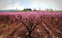описание персика