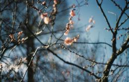зимостойкий персик