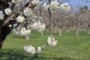 слива Кабардинская ранняя цветет
