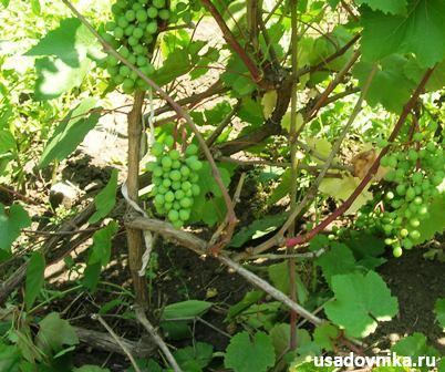выращивание винограда самостоятельно