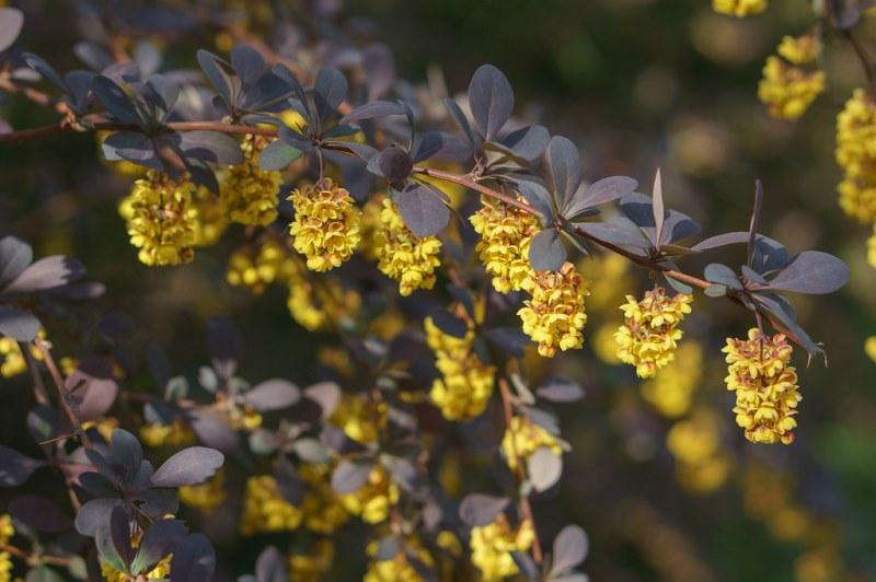 цветение кустарника барбарис