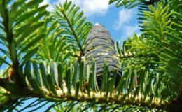 хвойные растения для живой изгороди