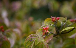 дерево кизил и его плоды