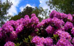 цветущий кустарник рододендрон
